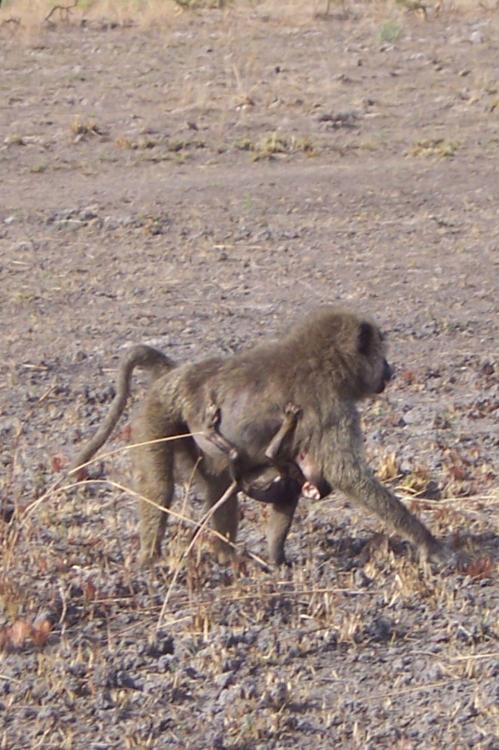 Monkey with baby in Pendjari